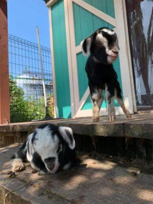 タケガワ動物園 8月21日生まれ 子ヤギ クララ ピッチ-