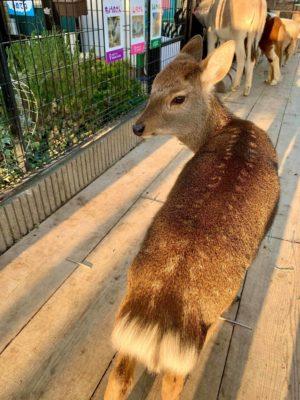 タケガワふれあい動物園 小鹿 タケル君