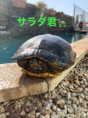 タケガワふれあい動物園 ミドリガメ サラダ君