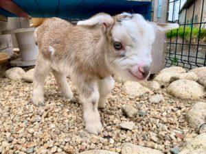 ヤギの赤ちゃん 生後3日 タケガワふれあい動物園