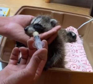 保護したアライグマ ミルクやり お世話 タケガワふれあい動物園 松阪市