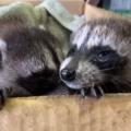アライグマ 保護 飼育展示許可申請中 タケガワふれあい動物園
